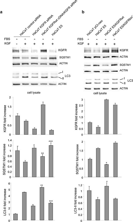 The inhibitory effect of 16E5 on KGF-triggered autophagy depends on KGFR expression and signaling.