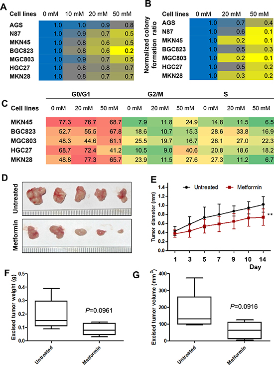 Metformin inhibited cell proliferation of gastric cancer (GC) cells in vitro and inhibits the growth of gastric cancer xenografts in vivo.