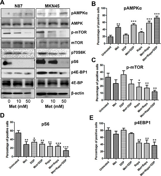 Metformin activated AMPKα and inhibited mTOR signaling in GC cells and MKN45 cell xenografts.