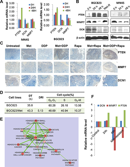 PTEN, DCN, and MMP7 expression in GC cells and the xenograft tumor samples.