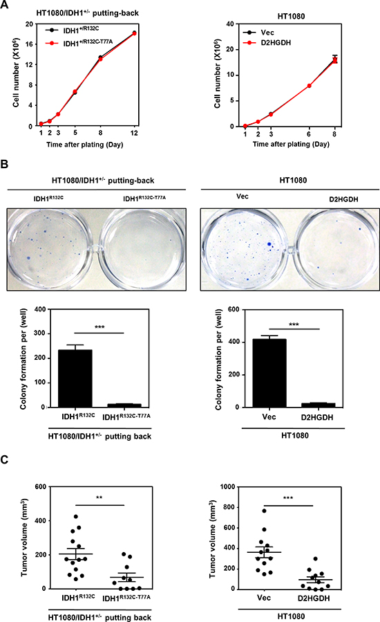 D-2-HG production is required for anchorage independent growth in vitro and tumor growth in vivo.