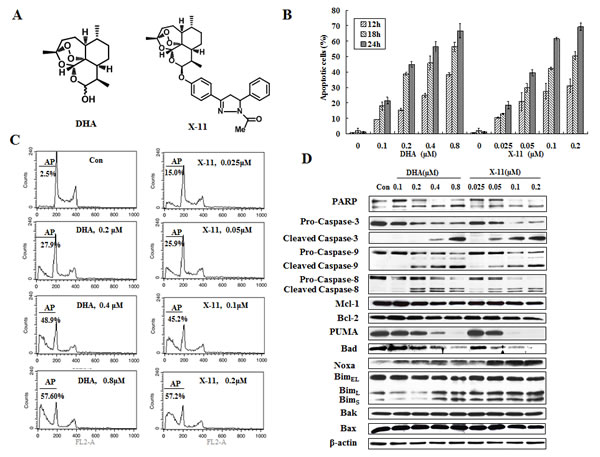 X-11 is more potent than DHA in apoptosis induction in HL-60 cells.