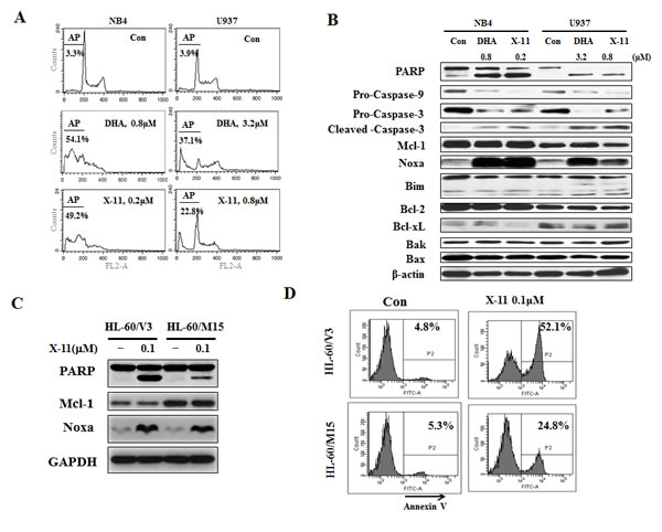 Induction of apoptosis by DHA/X-11 in AML cells with different levels of Bcl-xL and Mcl-1.