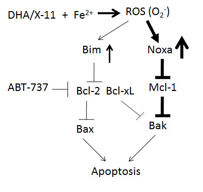 A working model of DHA and X-11 apoptosis induction in AML cells.