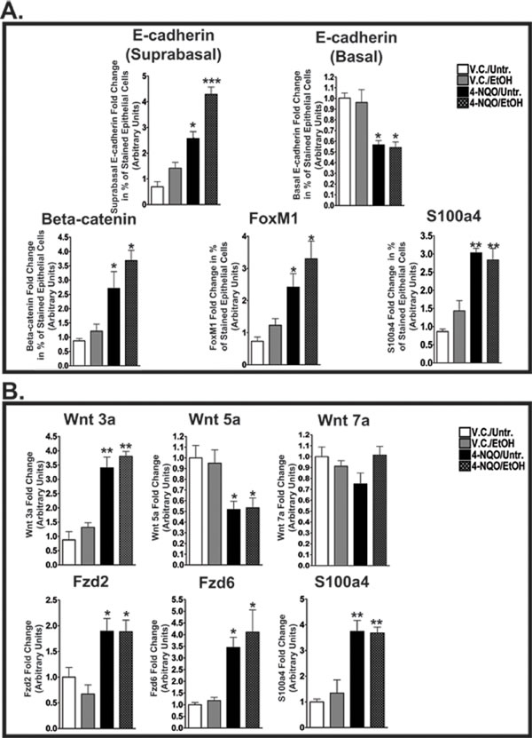 4-NQO and 4-NQO followed by ethanol administration increase E-cadherin in the suprabasal layers, decrease E-cadherin in the basal layer, and increase canonical Wnt signaling during the initiation of ESCC.