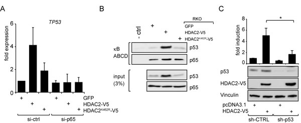 HDAC2 influences NF-κB-dependent TP53 expression and p53 crosstalks with NF-κB to regulate NF-κB transcriptional activities.