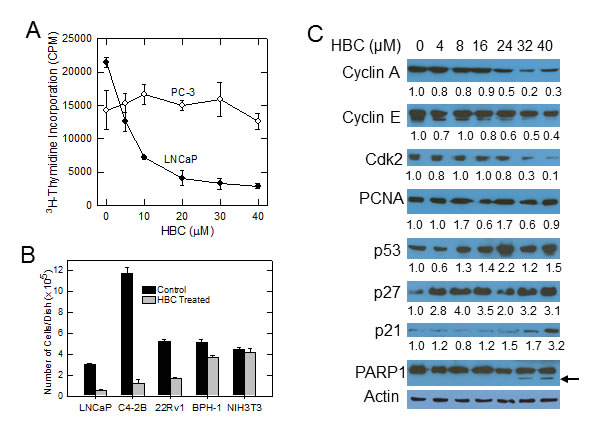 HBC inhibits proliferation of AR-positive prostate cancer cells.