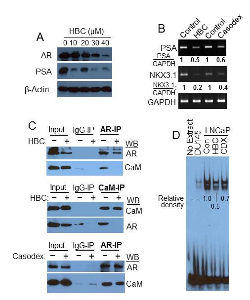 HBC inhibits AR transcriptional activity.