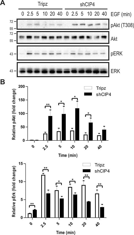 CIP4 silencing alters EGFR signaling to Akt and ERK kinases.
