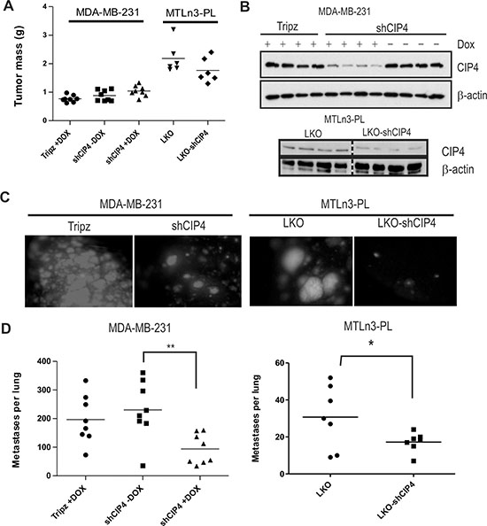 CIP4 promotes TNBC metastasis to the lungs in mice.