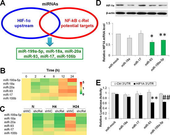 NF-κB downstream miRs suppress HIF-1α expression in hypoxic HCC.