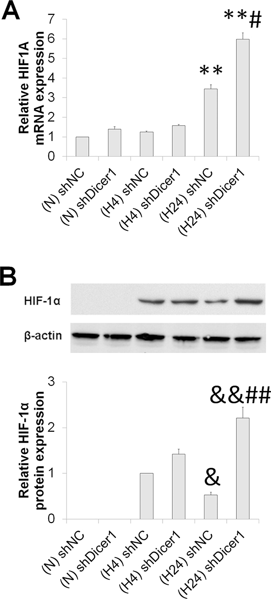 Dicer1 contributes to HIF-1α degradation under prolonged hypoxia.