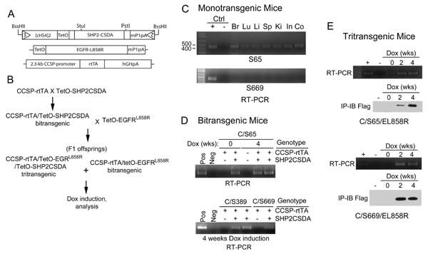 Generation and characterization of transgenic mice.