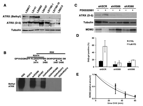 ATRX is needed for PD0332991 induced down-regulation of MDM2 and accumulation of SA-β-gal.