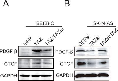 Activation of CTGF and PDGF-β by TAZ.