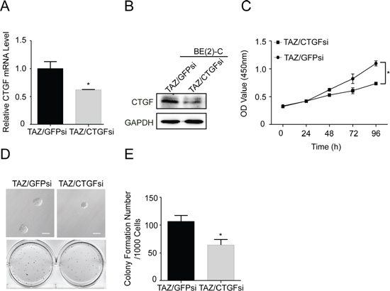 CTGF is a major downstream transcriptional target of TAZ.
