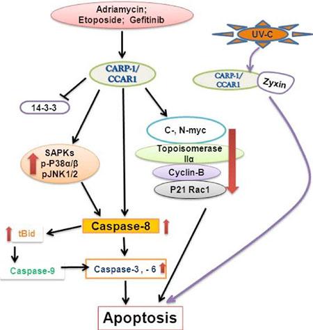 A Schematic of CARP-1/CCAR1 Apoptosis Signaling.