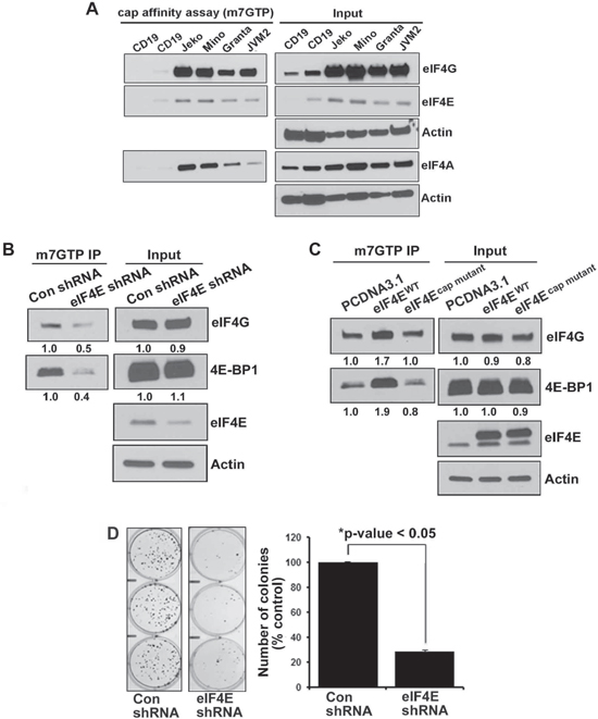 Integrity of eIF4F complex in normal B cells and lymphoma cells.