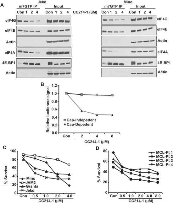 Effect of the dual mTOR kinase inhibitor CC214-1 on eIF4F complex.