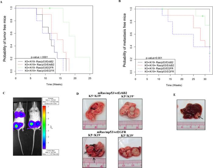 In-vivo tumor and metastasis formation from transformed K5+/K19− or K5+/K19+ cells.