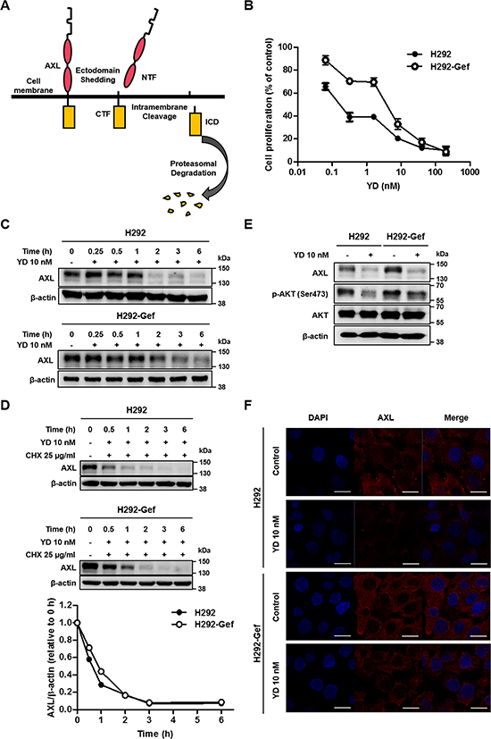 YD-induced down-regulation of the full-length AXL expression in H292 and H292-Gef Cells.