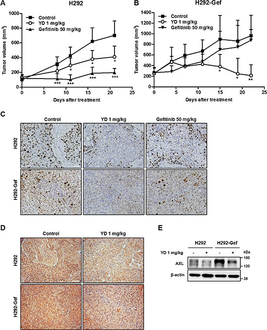 Alteration of AXL expression by YD in tumor xenograft model.