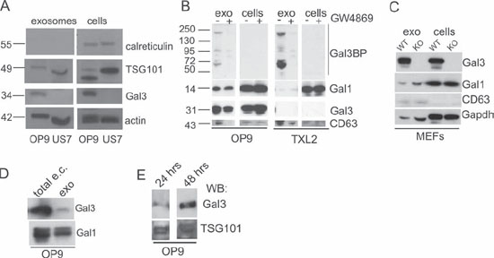 OP9 but not ALL cells generate Galectin-3 containing exosomes.