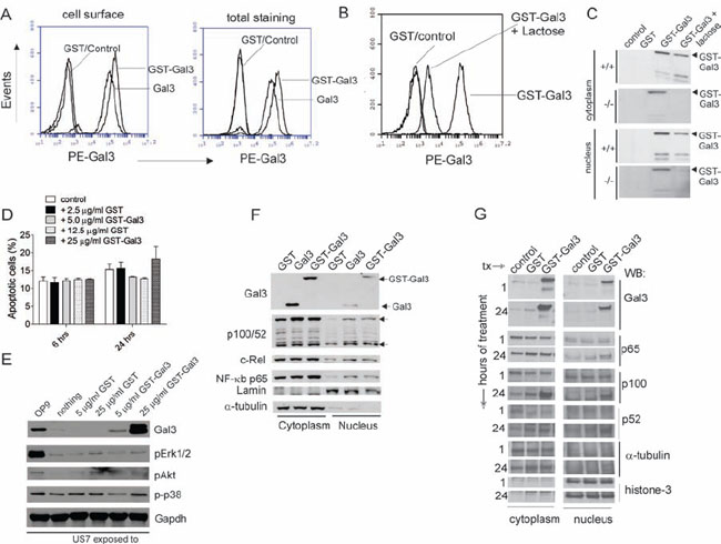 Exogenous Galectin-3 is internalized by human ALL cells.