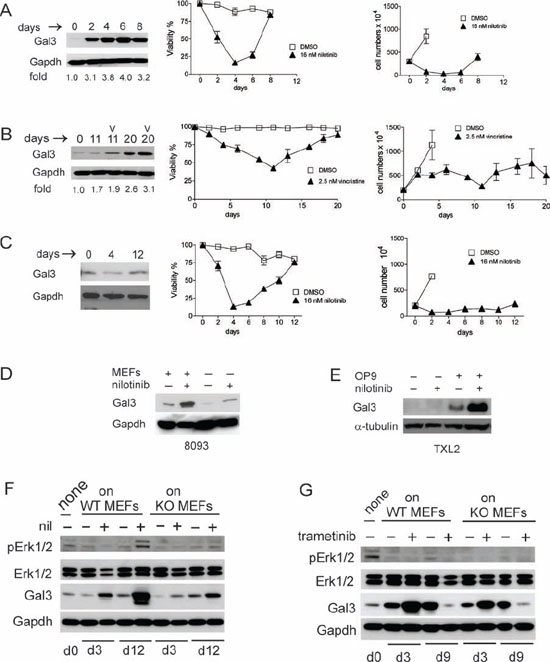 Chemotherapeutic drug treatment induces endogenous Galectin-3 in pre-B ALL cells when in contact with stromal cells.
