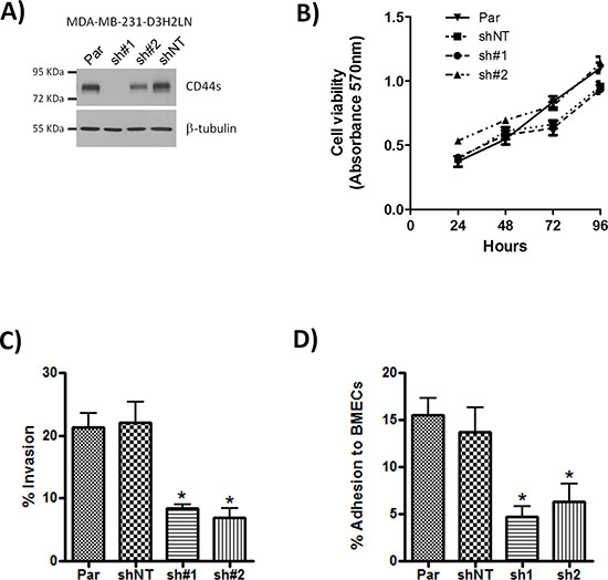 Knock-down of CD44 has no effect on cell proliferation but reduces adhesion and cell invasion.