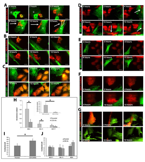 CD9-dependent invasion of MDA or MA-11 cells into MSCs.