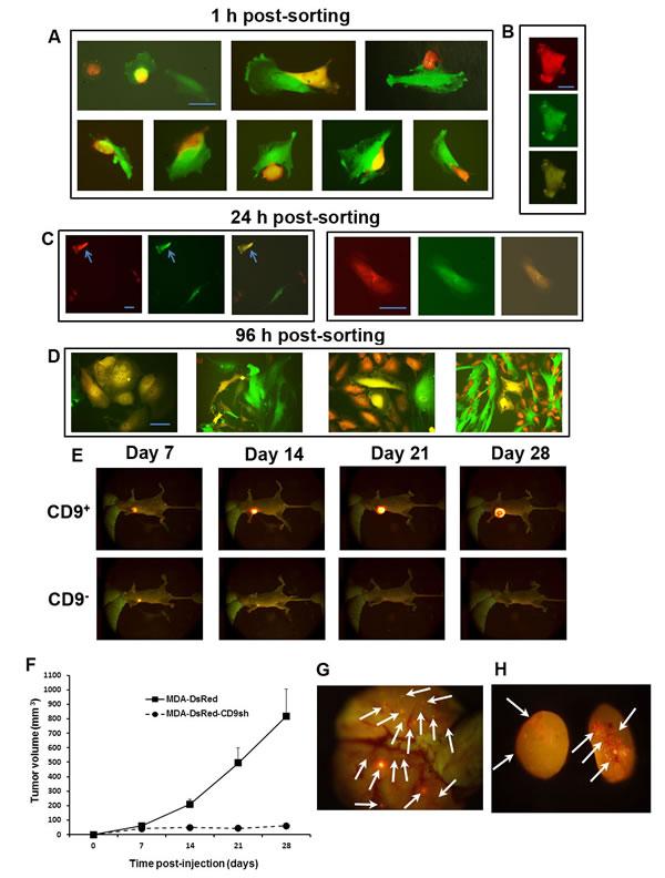 CD9-dependent fusogenicity, tumorigenicity and metastatic capacity of MDA cells.