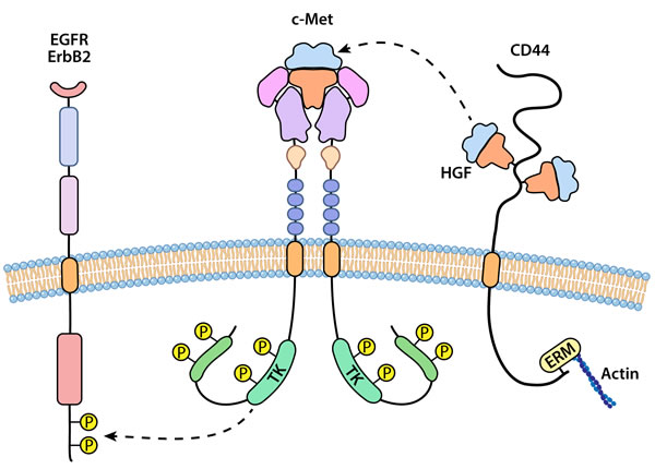 An illustration representing interaction of c-Met or RON with other cell surface receptors.