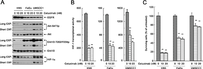 Effective inhibition of the cell signaling pathways downstream of EGFR and inhibition of HIF-1 transcriptional activity by cetuximab do not necessarily lead to successful inhibition of cell proliferation.