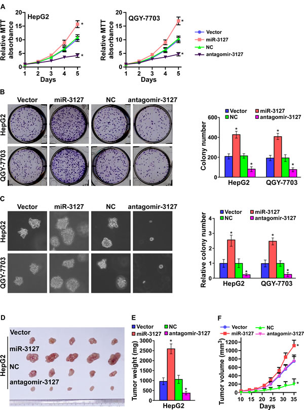 MiR-3127 upregulation promoted HCC cell proliferation