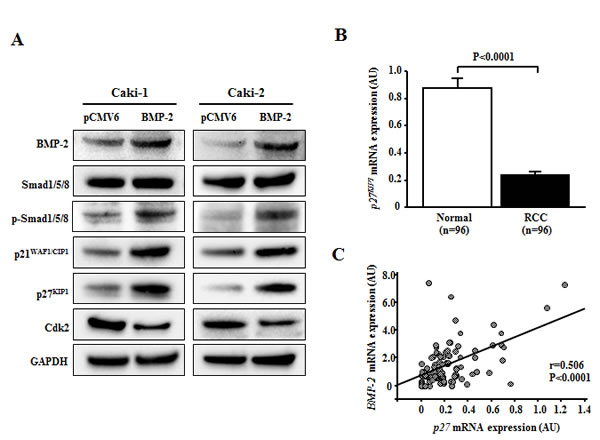 Effect of BMP-2 overexpression on cell cycle regulatory genes.