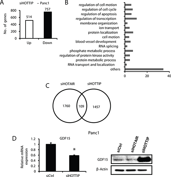 Gene regulation by HOTTIP and compared to HOTAIR in Panc1 cells.