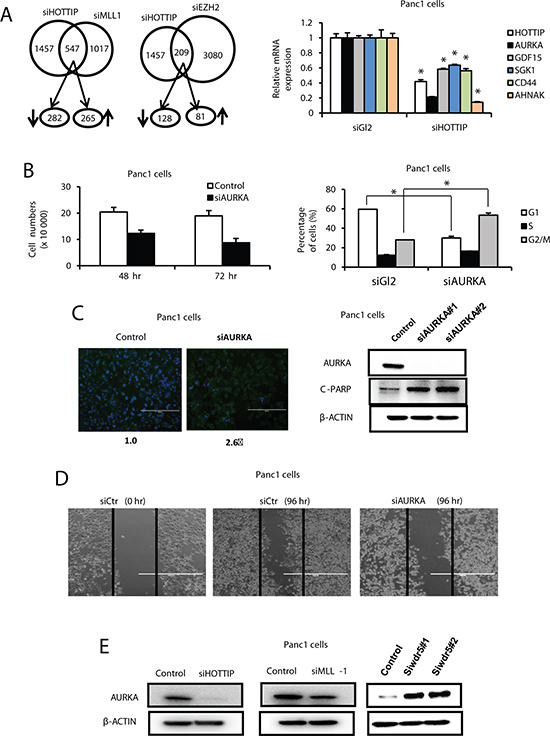 Interaction between HOTTIP, WDR5 and MLL1 on gene expression in Panc1 cells.