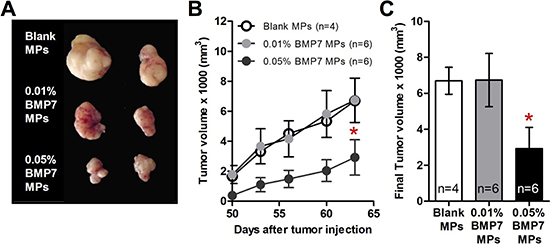 BMP7 released from the particles decreased the xenograft growth of GBM cells in the athymic nude mice.