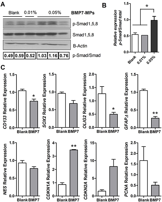 BMP signaling and gene expression analysis of the GBM xenografts.