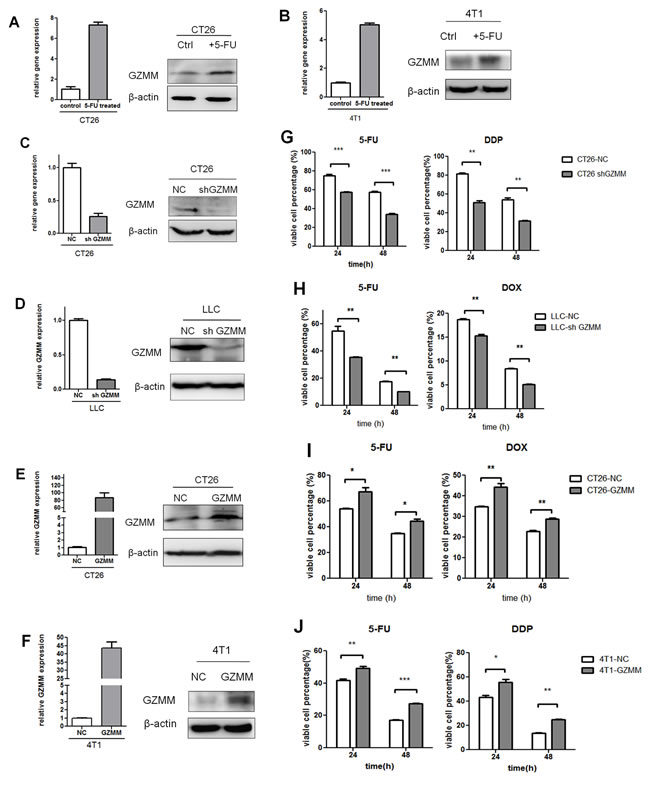 GZMM enhances chemoresistance in murine tumor cells.