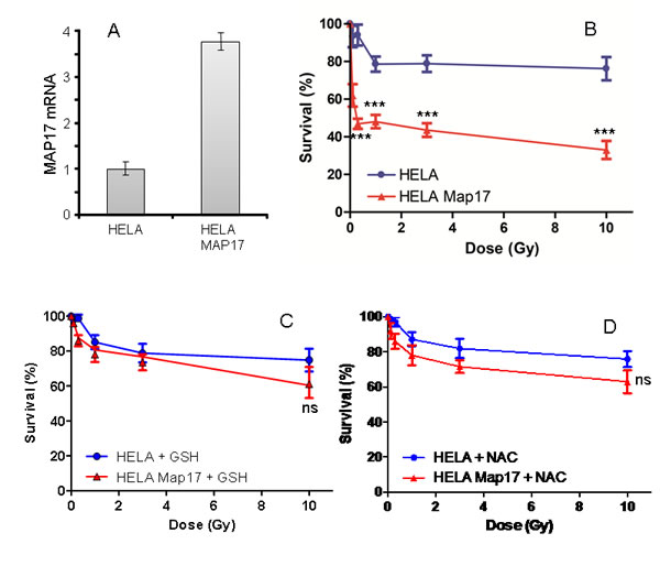 MAP17 overexpression in Hela cells induces sensitivity to radiotherapy.