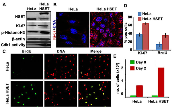 Cell proliferation is enhanced in HeLa cells that stably overexpress HSET.