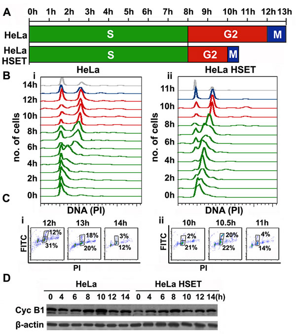 HSET overexpression accelerates cell cycle kinetics.