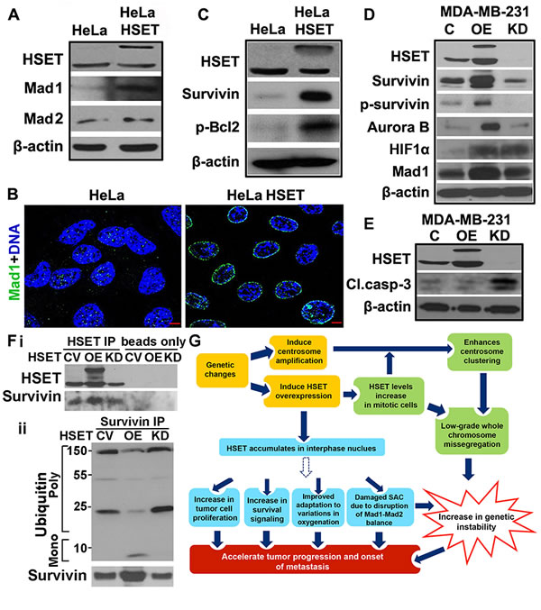 HSET overexpression upregulates survival proteins and disrupts balance of checkpoint proteins.
