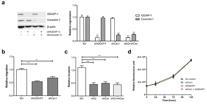 Knockdown of IQGAP1 and/or caveolin-1 in PC-3 cells reduces migration and invasion