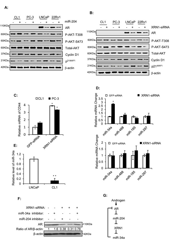 miR-204 and XRN1 regulate AR expression, and miR-34a is a XRN1 target that down-regulates AR.