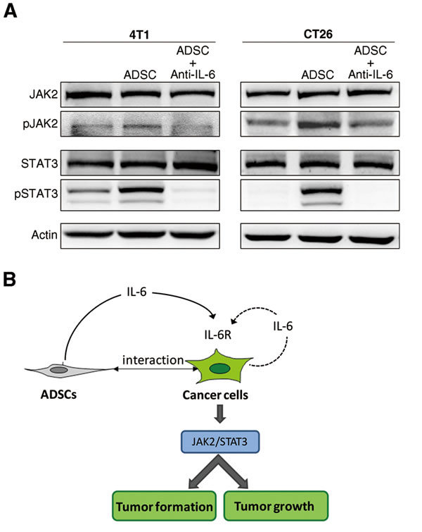 Activation of IL-6-dependent pathway in breast and colon cancer cells upon co-culture with ADSCs.