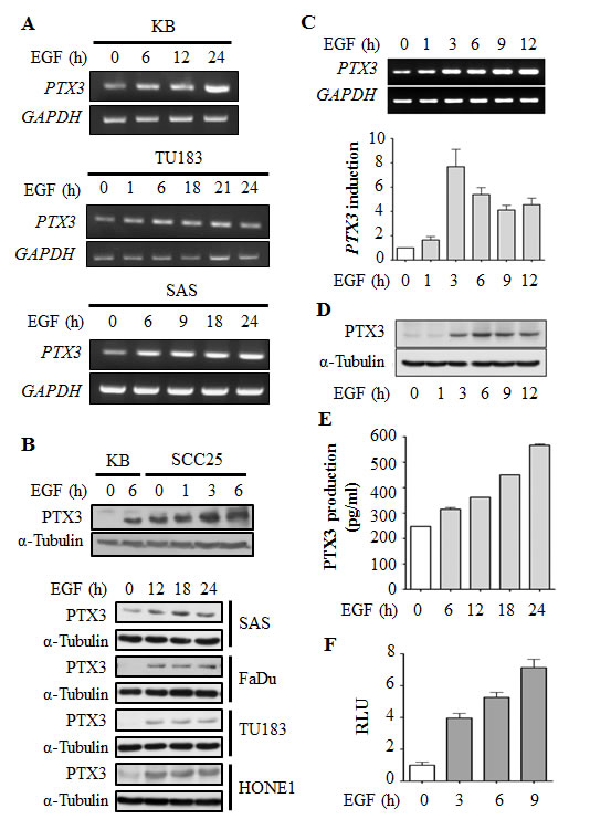 EGF induces transcriptional activation of PTX3 gene expression in head and neck squamous cell carcinoma (HNSCC) cell lines.