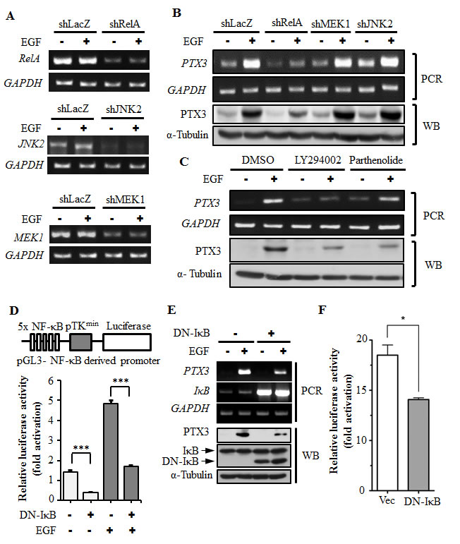 Activation of NF-κB is essential for EGF-induced PTX3 expression.
